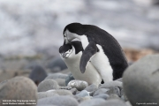Pygoscelis_antarcticus028.King_George_Is.South_Shetland_Islands.Antarctica.27.01.2019