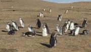 Spheniscus_magellanicus005.Isla_Magdalena.Punta_Arenas.Chile.8.02.2019