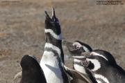 Spheniscus_magellanicus013.Isla_Magdalena.Punta_Arenas.Chile.8.02.2019