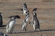 Spheniscus_magellanicus014.Isla_Magdalena.Punta_Arenas.Chile.8.02.2019