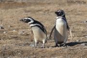 Spheniscus_magellanicus015.Isla_Magdalena.Punta_Arenas.Chile.8.02.2019