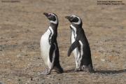 Spheniscus_magellanicus018.Isla_Magdalena.Punta_Arenas.Chile.8.02.2019