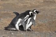 Spheniscus_magellanicus019.Isla_Magdalena.Punta_Arenas.Chile.8.02.2019