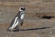 057.014.Spheniscus_magellanicus001.Isla_Magdalena.Punta_Arenas.Chile.8.02.2019