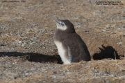 Spheniscus magellanicus027.Chick.Isla Magdalena.Punta Arenas.Chile.8.02.2019