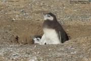 Spheniscus magellanicus028.Chick.Isla Magdalena.Punta Arenas.Chile.8.02.2019