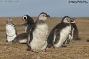 Spheniscus magellanicus029.Isla Magdalena.Punta Arenas.Chile.8.02.2019
