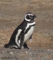 Spheniscus_magellanicus002.Isla_Magdalena.Punta_Arenas.Chile.8.02.2019
