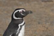 Spheniscus_magellanicus003.Isla_Magdalena.Punta_Arenas.Chile.8.02.2019