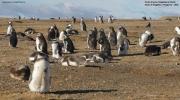 Spheniscus_magellanicus004.Isla_Magdalena.Punta_Arenas.Chile.8.02.2019