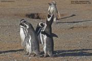 Spheniscus_magellanicus009.Isla_Magdalena.Punta_Arenas.Chile.8.02.2019