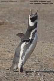 Spheniscus_magellanicus010.Isla_Magdalena.Punta_Arenas.Chile.8.02.2019