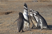 Spheniscus_magellanicus012.Isla_Magdalena.Punta_Arenas.Chile.8.02.2019