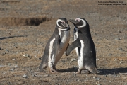 Spheniscus_magellanicus017.Isla_Magdalena.Punta_Arenas.Chile.8.02.2019