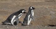 Spheniscus_magellanicus020.Isla_Magdalena.Punta_Arenas.Chile.8.02.2019