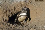 Spheniscus_magellanicus023.Isla_Magdalena.Punta_Arenas.Chile.8.02.2019