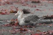 061.016.Macronectes_halli001.King_George_Is.South_Shetland_Islands.Antarctica.23.01.2019