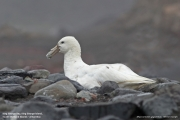Macronectes_giganteus004.White_morph.King_George_Is.South_Shetland_Islands.Antarctica.23.01.2019