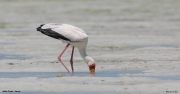 Mycteria_ibis0012.Mida_Creek.Kenia.PJ.18.09.2011