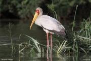 Mycteria_ibis003.Lake_Ziway.Etiopia.21.11.2009