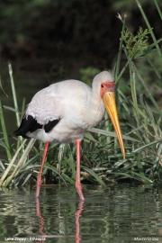 Mycteria_ibis006.Lake_Ziway.Etiopia.21.11.2009