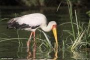 Mycteria_ibis008.Lake_Ziway.Etiopia.21.11.2009