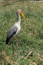 Mycteria_ibis009.Juv.Kazinga_Channel.Uganda.PJ.25.02.2011