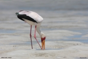 Mycteria_ibis017.Mida_Creek.Kenia.PJ.18.09.2011