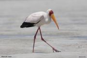 Mycteria_ibis018.Mida_Creek.Kenia.PJ.18.09.2011