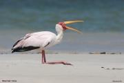 Mycteria_ibis023.Mida_Creek.Kenia.PJ.18.09.2011