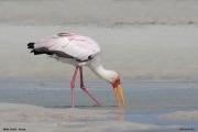 Mycteria_ibis025.Mida_Creek.Kenia.PJ.18.09.2011