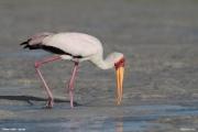 Mycteria_ibis033.Mida_Creek.Kenia.PJ.20.09.2011