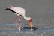 Mycteria_ibis037.Mida_Creek.Kenia.PJ.20.09.2011