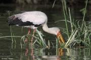 Mycteria_ibis004.Lake_Ziway.Etiopia.21.11.2009