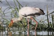 Mycteria_ibis005.Lake_Ziway.Etiopia.21.11.2009
