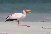 Mycteria_ibis022.Mida_Creek.Kenia.PJ.18.09.2011