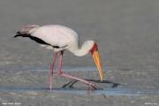 Mycteria_ibis035.Mida_Creek.Kenia.PJ.20.09.2011