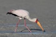 Mycteria_ibis036.Mida_Creek.Kenia.PJ.20.09.2011