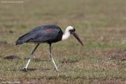 Ciconia_episcopus_microscelis004.Droga_z_Yabelo_do_Langano.Etiopia.20.11.2009