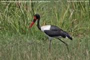 062.019.Ephippiorhynchus_senegalensis001.Female.Murchison_Falls_N.P.Uganda.19.11.2012
