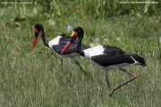Ephippiorhynchus_senegalensis007.Murchison_Falls_N.P.Uganda.19.11.2012