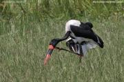 Ephippiorhynchus_senegalensis008.Male.Murchison_Falls_N.P.Uganda.19.11.2012