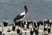 Ephippiorhynchus_senegalensis011.Kazinga_Channel.Uganda.PJ.25.02.2011