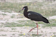 Ciconia_abdimii002.Etosha_N.P.Namibia.21.02.2014