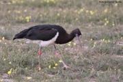 Ciconia_abdimii004.Etosha_N.P.Namibia.21.02.2014