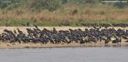 Ciconia_abdimii013.Murchison_Falls_N.P.Uganda.PJ.16.02.2011