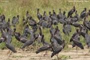 Ciconia_abdimii018.Murchison_Falls_N.P.Uganda.PJ.16.02.2011