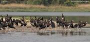 Ciconia_abdimii012.Murchison_Falls_N.P.Uganda.PJ.15.02.2011