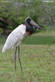 Jabiru_mycteria002.Pantanal.Brazylia.15.11.2013