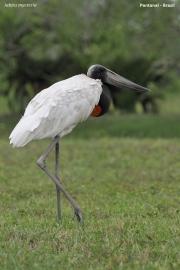 Jabiru_mycteria003.Pantanal.Brazylia.15.11.2013